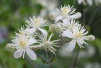 clematis fiore di bach depressione post partum i rimedi naturali i fiori di bach