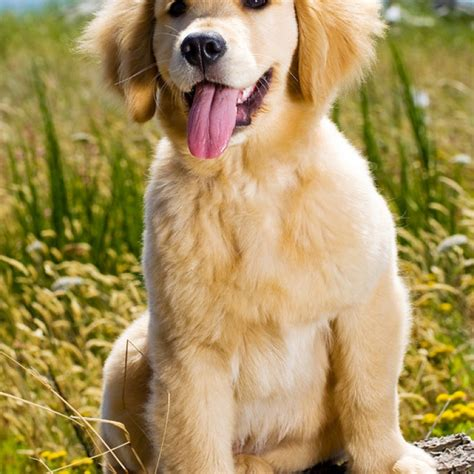 what breeds make a golden retriever golden retriever breed information