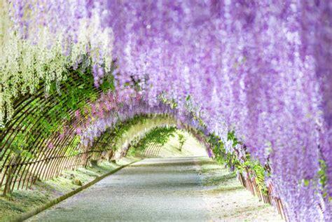 flower tunnel japan wisteria flower tunnel in japan s kawachi fuji garden