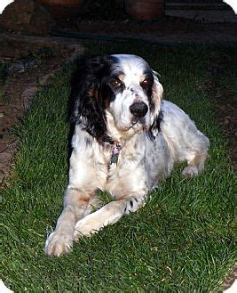 english setter dog adoption english setter dog for adoption in pine grove