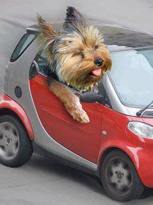 yorkie running speed 25 best ideas about terrier puppies on puppies