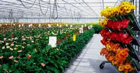 Bibit Bunga Gerbera info budidaya ternak peluang usaha budidaya bunga gerbera