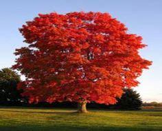 sunset maple tree root system callistemon citrinus bottle brush tree bottle brush trees root system and gardens