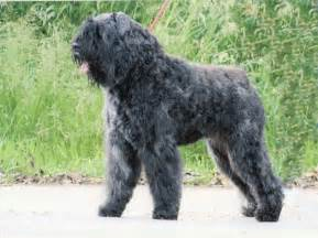 Lovely black bouvier des flandres dog photo and wallpaper beautiful