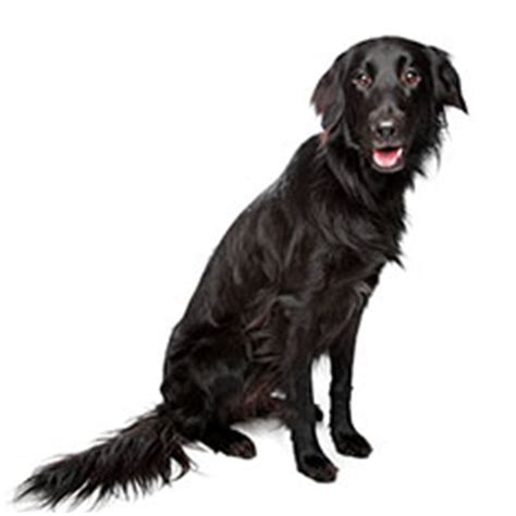 flat coated retriever training guide flat coated retriever breed guide