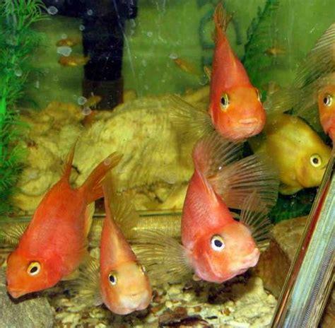 fish parrotfish freshwater beauts aquariums fishtanks red yellow sale price per