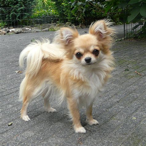 long hair chihuahua haircut long haired chihuahua hairstyles harvardsol com