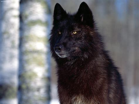 black wolf black wolf the animal life