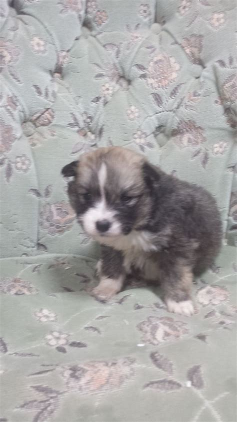 pomsky puppies for sale in ga 25 best ideas about pomsky for sale on pomsky puppies for sale pomsky