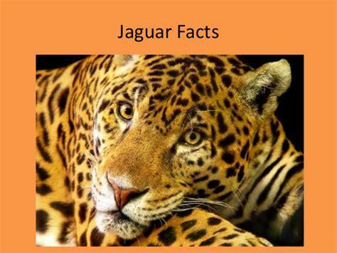 facts about jaguar jaguar facts