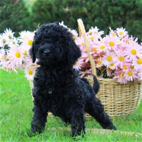 labradoodle puppies for sale ny labradoodle puppies for sale in de md ny nj philly dc and baltimore breeds picture