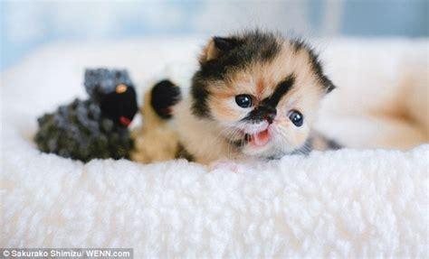 Memebon the short haired cat creates a frenzy in Japan
