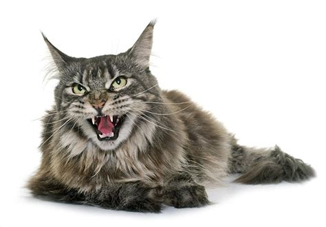 badass names badass cat names 90 tough tenacious ideas find cat names