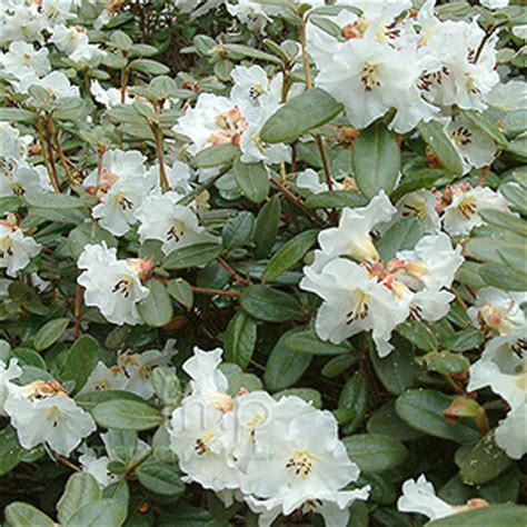 rhododendron leucaspis information pictures cultivation tips