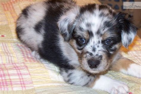 australian shepherd puppies nc australian shepherd puppy for sale near raleigh durham ch carolina