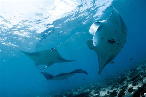 diving  manta rays dive  world creature features