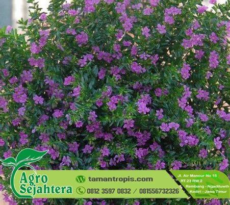 Jual Bibit Bunga Dan Tanaman jual bibit tanaman hias bunga taiwan