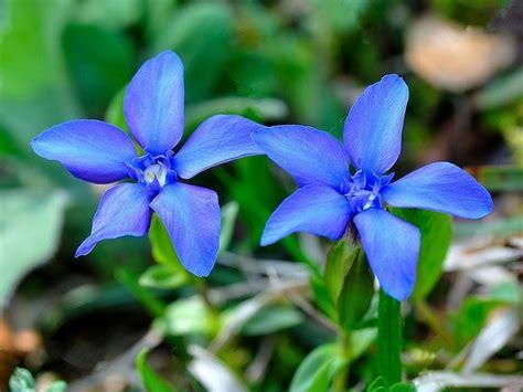 fiori azzurri nomi scheda fiori azzurro bl 249 cinque petali