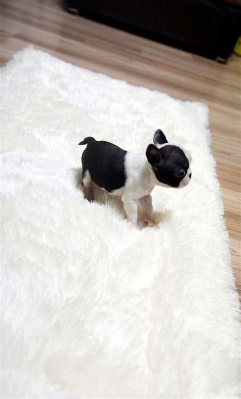 teacup bulldog puppies sale 17 best images about teacup bulldog puppy puppys and bar