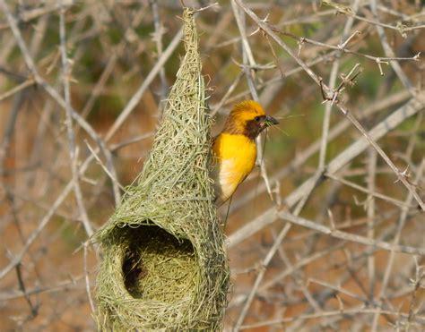 baya weaver bird tn resources