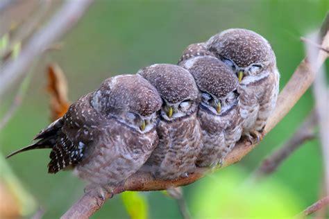 wallpaper spotted owl owls birds mom babes cute