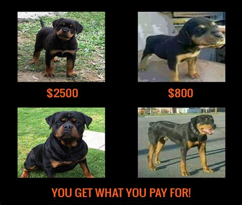 how much does a rottweiler puppy cost rottweiler puppies akc 0 rottweiler puppies akc breeds picture