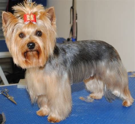 yorkie terrier hairstyles pin terrier hairstyles on