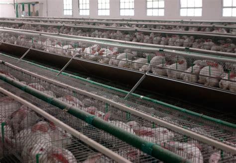 gabbia conigli allevamento conigli allevati a terra quot in italia gli animali sono