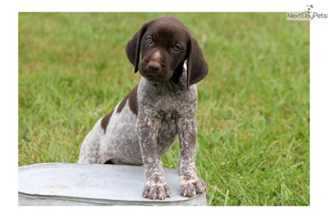 german shorthaired pointer puppies price german shorthaired pointer puppy for sale near lancaster pennsylvania e856b887 c651