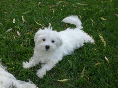 alimentazione cani maltesi maltese 209840