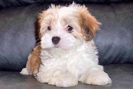 havanese puppies for sale ny westchester puppies havanese puppies for sale