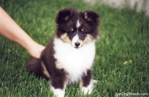 types of sheep dogs list of sheep breeds breeds picture