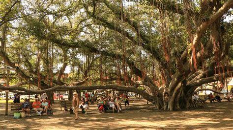 lighting of the banyan tree lahaina lahaina banyan tree maui urban icon