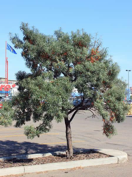 sea buckthorn seaberry  sale treetimeca