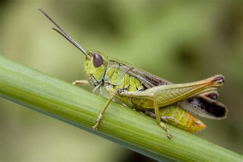 Would You Eat This Grasshopper Snack by Wonderful Information About The Habitat Of Grasshoppers
