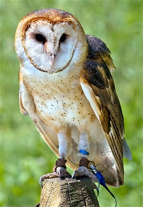 Barn Owl Conservation Status barn owl nongame new hshire fish and department