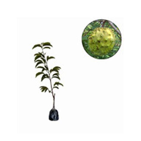 jual bibit tanaman murah srikaya biriba bibit tanaman