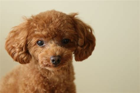 lifespan of a poodle poodle 10 breeds that live a time mnn