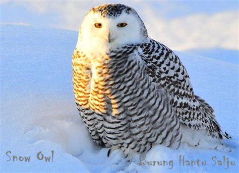 Kupluk Binatang Owl Acg100 3 informasi hewan peliharaan kita burung hantu berbagai macam jenis