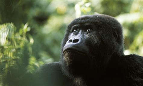 World's Largest Primate, The Mighty Eastern Gorilla, Now ...