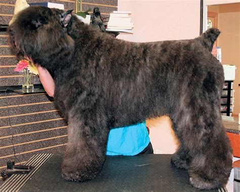 libro bouvier des flandres 1000 ideas about bouvier des flandres on big dogs beautiful dogs and huge dogs