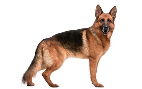 german shepherd cost 10 most expensive breeds natun dhaka digest