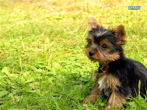 yorkie puppies wallpaper superb wallpapers images terrier puppy hd wallpaper and background photos