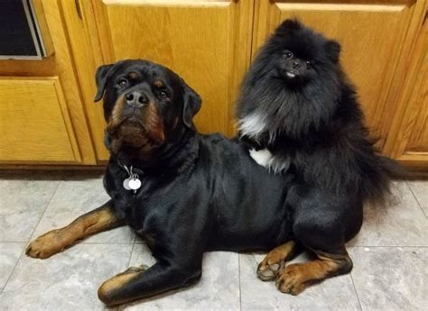 rottweiler and pomeranian pug boxer rottie pom 6 breeds their preferred bffs
