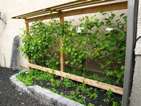 backyard grape vine trellis grow your own grapes in alberta with a grape vine trellis