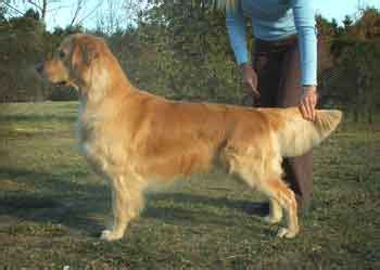 golden retrievers for sale australia golden retriever breeders links and breed information on pups4sale au
