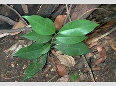 Ligustrum lucidum Glossy Privet Tree