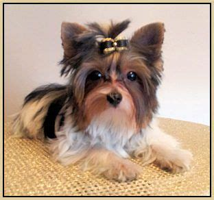 yorkie clothes for sale best 25 dogs for sale ideas on tiny dogs for sale tiny puppies