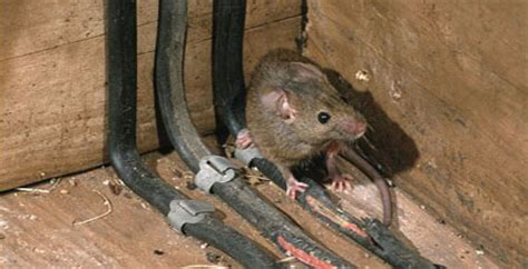 signs of rats in house security rodent control mouse control rat mice control ma