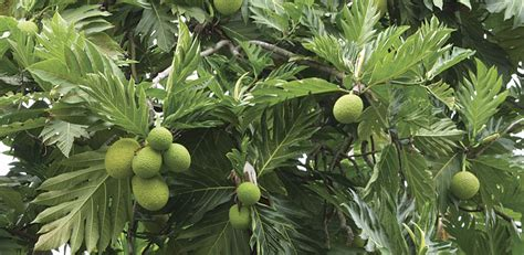 bread tree will breadfruit solve the world hunger crisis arcnews
